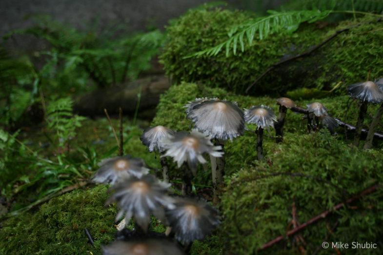 strang growth mushrooms