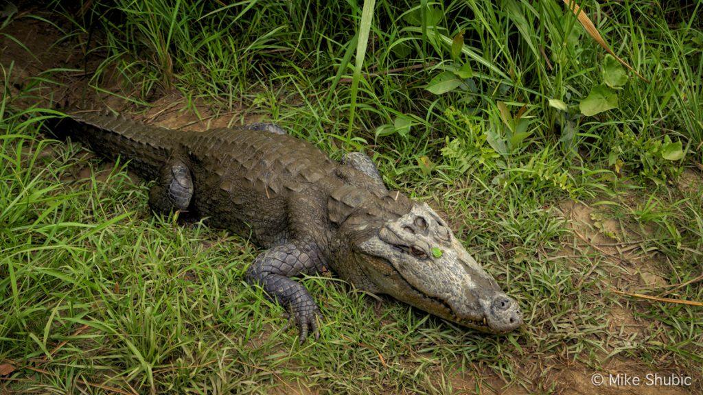 crocodile in Chitwan National Park by Mike Shubic of MikesRoadTrip.com