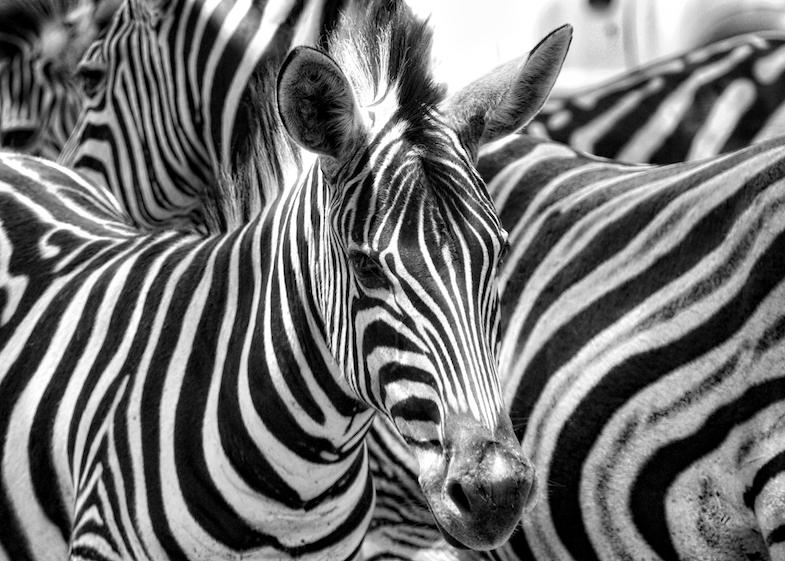 zebra in Mlilwane Wildlife Sanctuary in Swaziland, Africa