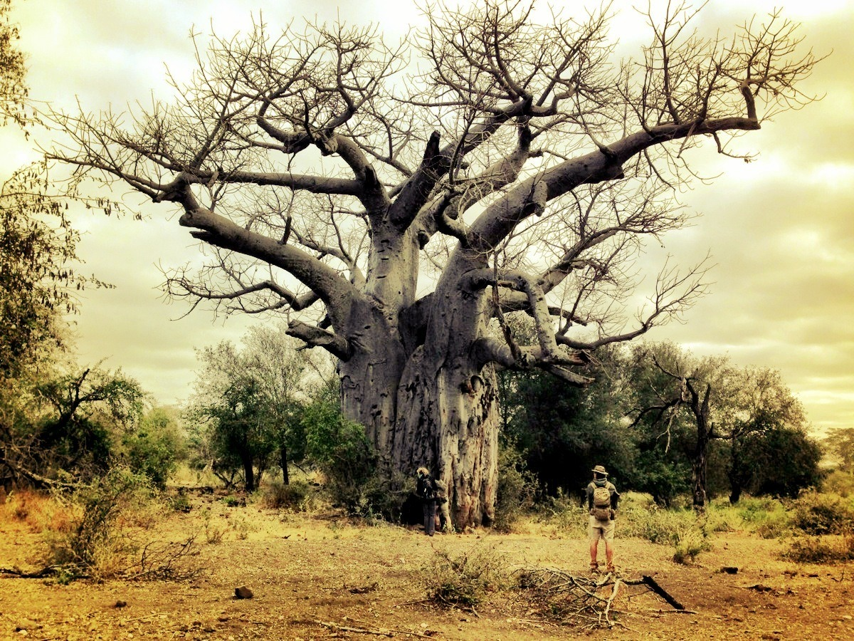 Baobab Tree on South African road trip