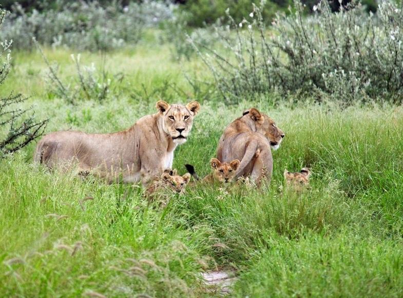 Lions in Central Kalahari